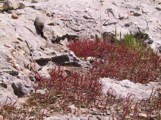 זערורית קטנת-פרי Telmissa microcarpa (Sm.) Boiss.