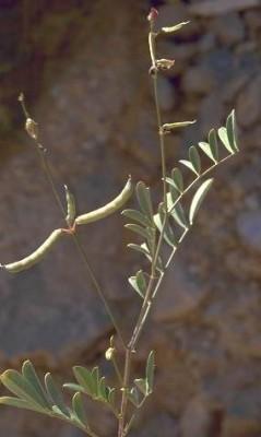 Tephrosia apollinea (Delile) Link