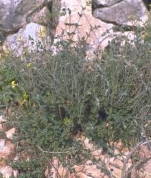 צמחים נמוכים של בתה וגריגה על טרה-רוסה.