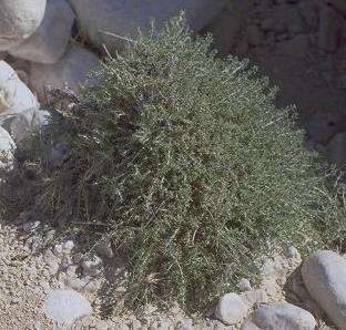 בת-קורנית הערבות Thymus bovei Benth.
