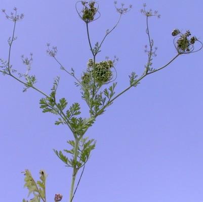 Tordylium aegyptiacum (L.) Lam.