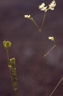 דל-קרניים כרמלי Tordylium carmeli (Labill.) Al-Eisawi & Juri