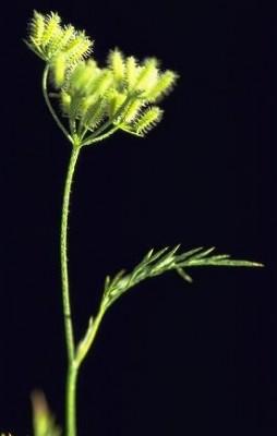 גזיר דקיק Torilis tenella (Delile) Rchb.
