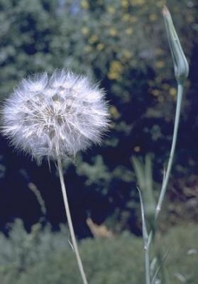 Tragopogon coelesyriacus Boiss.