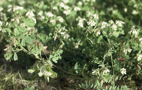 גרגרנית ערבית Trigonella arabica Delile