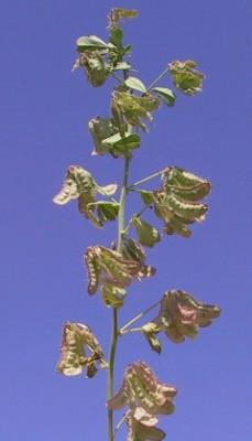 Trigonella arabica Delile