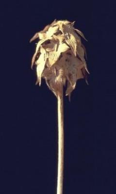 תלתן תריסני Trifolium clypeatum L.