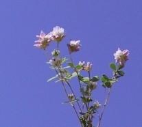 Trifolium erubescens Fenzl