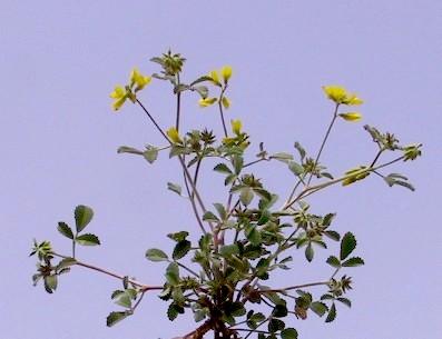 גרגרנית ירושלים Trigonella hierosolymitana Boiss.