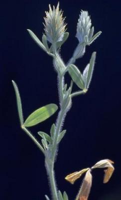 תלתן ארץ-ישראלי Trifolium palaestinum Boiss.