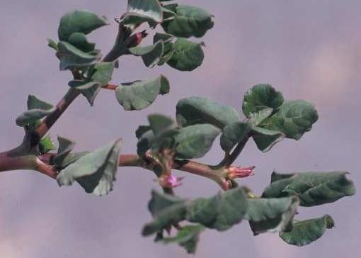 שלשי רגלני Trianthema portulacastrum L.