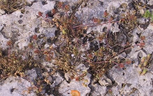 תלתן דוקרני Trifolium scabrum L.