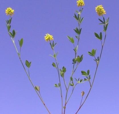 גרגרנית משובלת Trigonella spicata Sm.