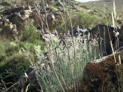 בן-דוחן מדברי Tricholaena teneriffae (L.f.) Link