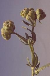 אוגן הגביע בפרי דמוי שלחופית כדורית שעירה, בעלת 6 שיניים חדות מופנות פנימה.