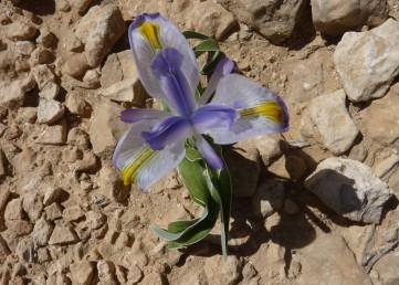 צמחים בעלי בצל, העלה שטוח. צמחים של ערבות בני-שיח. צבע הפרחים תכלת חיוור. במרכז עלה-העטיף החיצוני כרבולת צהובה.
