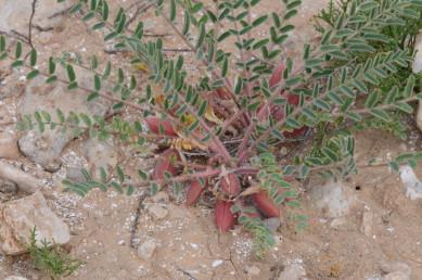 צמחי ערבות הגדלים בעיקר על קרקעות לס, חול-לס, וקרקעות אבניות.