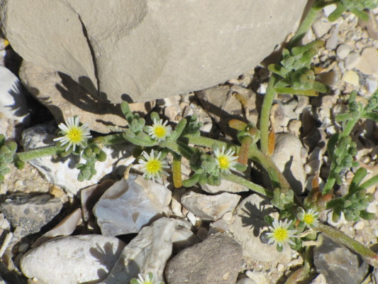 אהל מצוי Mesembryanthemum nodiflorum L.