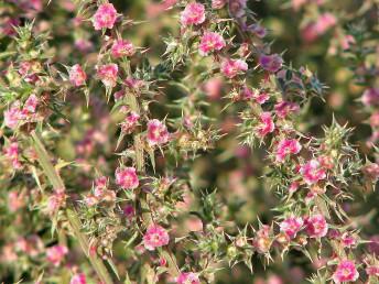 במהלך העונה מתפתחים עלים קשיחים קוצניים ובחיקם פרחים שלאחר ההפריה מפתחים כנפים.