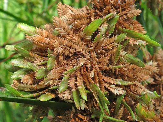 גומא שופע Cyperus dives Delile