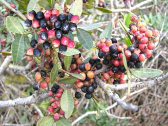 שיחים ירוקי-עד. העלה מורכב, מגיע לגיל 3-2 שנים. הפירות נישאים על צמחי נקבה.