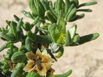 צמחים זקופים. עלים נגדיים, מוארכים, דמויי סרגל וחסרי פטוטרת. הפרי נפתח בהירטבו ככוכב.