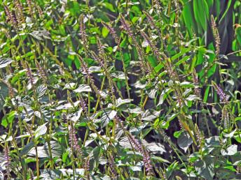 העלים נגדיים. הפרחים ערוכים בשיבולים ארוכות בראשי ענפים. העטיף ירוק. מתקשה בהבשלה וקצותיו דוקרניים.