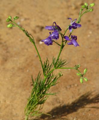 בר-דורבן מזרחי Consolida hispanica (Costa) Greuter & Burdet