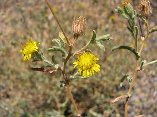 פרעושית סיצילית Pulicaria sicula (L.) Moris