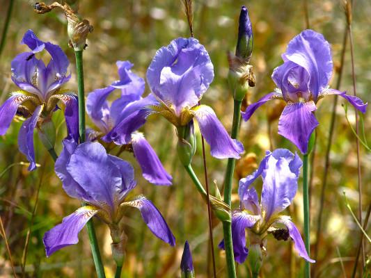 אירוס ארם-נהריים Iris mesopotamica Dykes