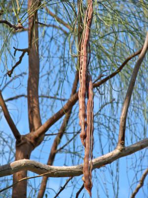 Moringa peregrina (Forssk.) Fiori