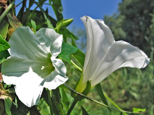 חבלבלן המשוכות Calystegia sepium (L.) R.Br.