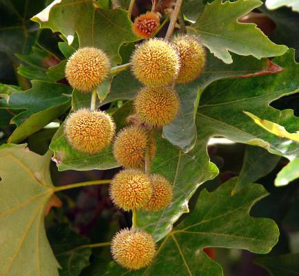 דולב מזרחי Platanus orientalis L.