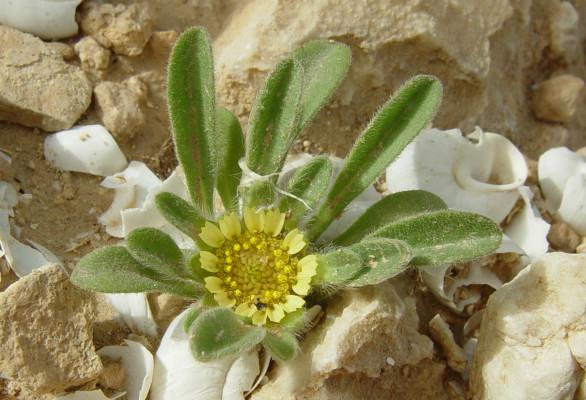 כוכב ננסי Asteriscus hierochunticus (Michon) Wiklund