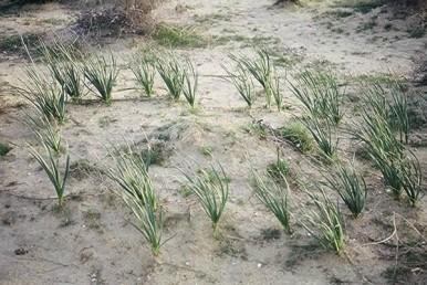 סודם של מעגלי צמחים במדבר
