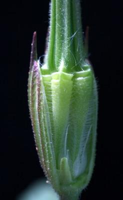 מקור-חסידה תל-אביבי Erodium telavivense Eig