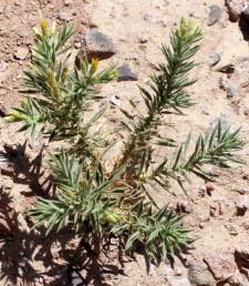 העלים דמויי אזמל צר (לא גליליים כשני המינים האחרים)
