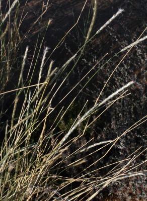 מצמרת שעירה Lasiurus scindicus Henrard