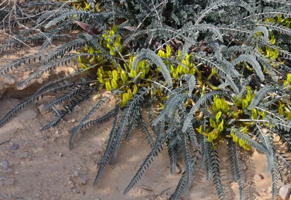 קדד הסיף Astragalus dactylocarpus Boiss.