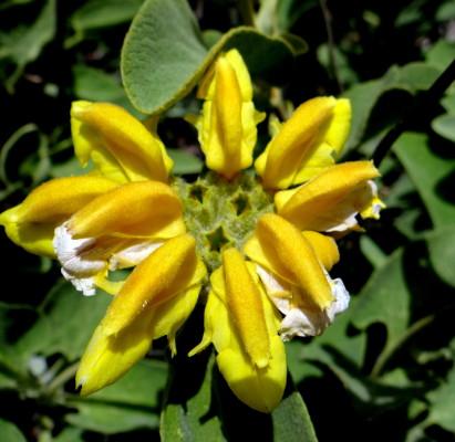 Phlomis chrysophylla Boiss.