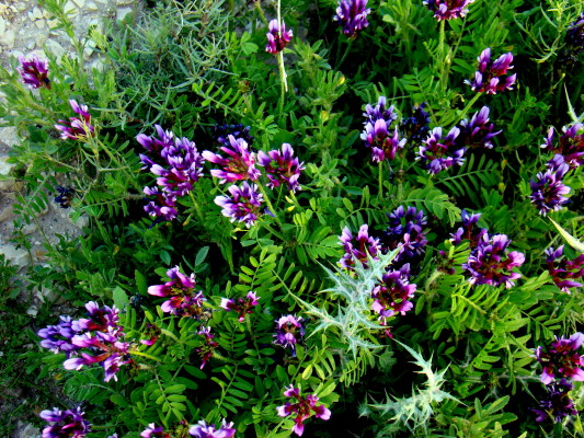 Astragalus callichrous Boiss.