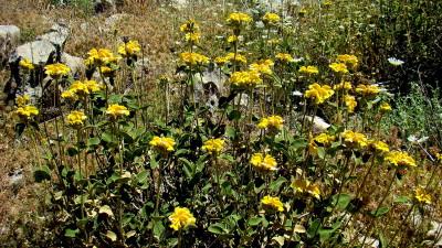 בני-שיח הגדלים בחרמון ובמזרח הגליל העליון.