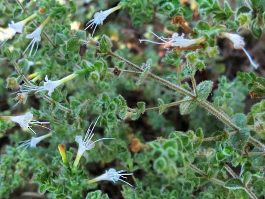 Origanum ramonense Danin