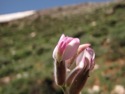 Astragalus coluteoides Willd.