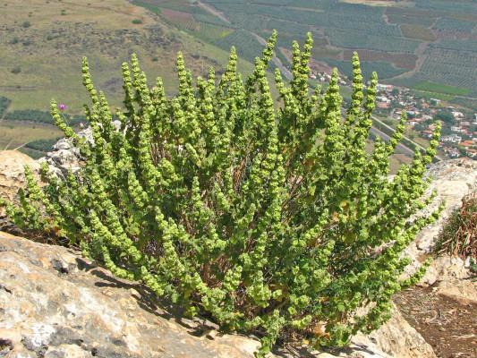 גלונית מצויה Ballota undulata (Sieber ex Fresen.) Benth.