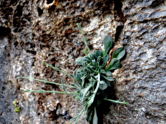 Silene grisea Boiss.
