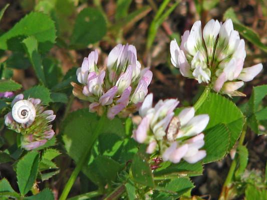 תלתן רפה Trifolium nigrescens Viv.