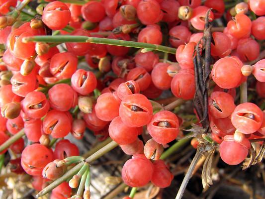 שרביטן ריסני Ephedra aphylla Forssk.