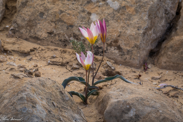 צבעוני ססגוני Tulipa biflora Pall.