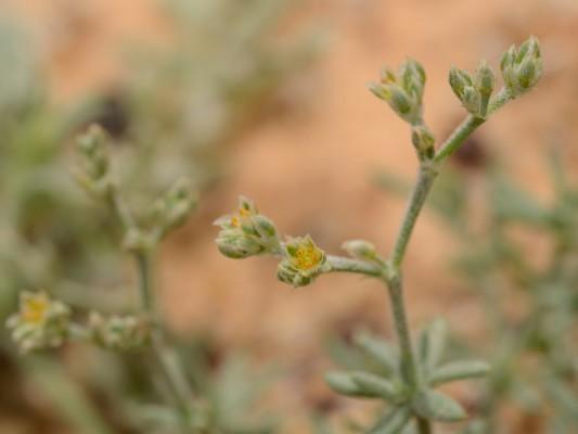 פריינית שרועה Polycarpaea repens (Forssk.) Asch. & Schweinf.